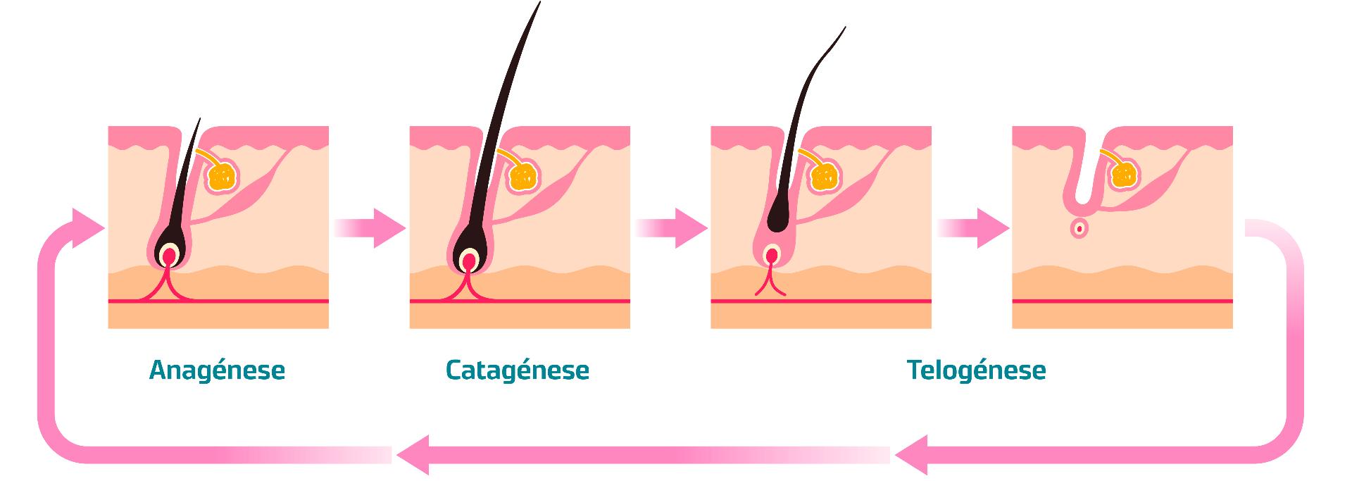 Fases do Ciclo Capilar